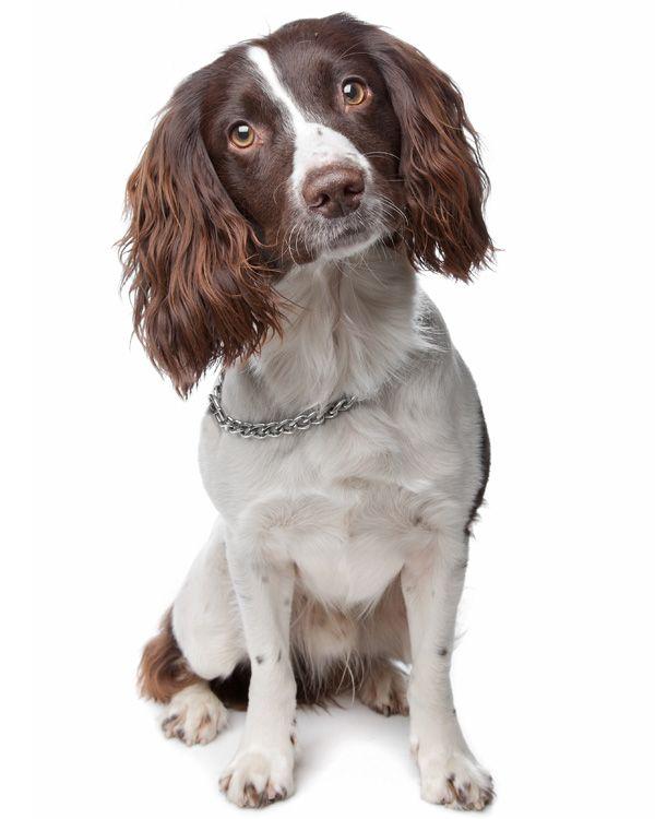 Hondenrassen - Engelse Springer Spaniel