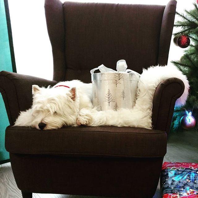 Барнюша не расстается со своим любимым креслом))изначально кресло было папиным)))ровно один вечер  С новым годом,друзья!! #вестхайленд #вестикБарни #новыйгод