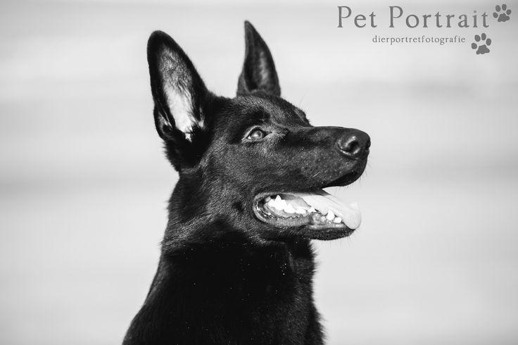 Zwarte Duitse Herder - Wolf