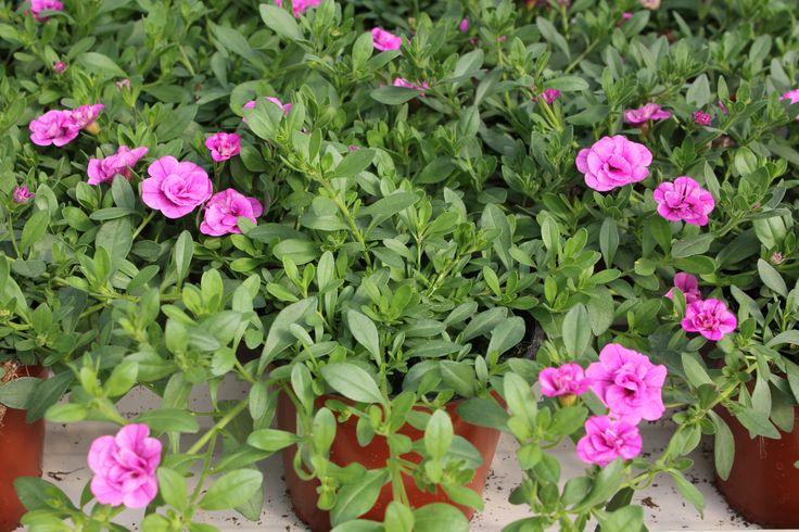 Japaninkello 'Calita double rose '