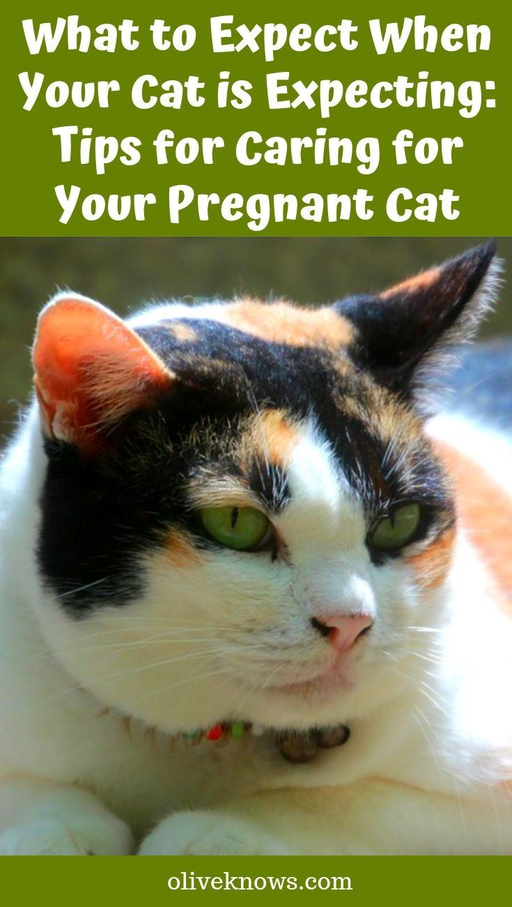 What To Expect When Your Cat Is Expecting Tips For Caring For Your Pregnant Cat Oliveknows Pregnant Cat Cats Cat Having Kittens