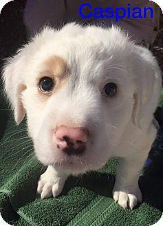 Henderson, NV - St. Bernard/American Bulldog Mix. Meet Caspian, a puppy for adoption. http://www.adoptapet.com/pet/14661919-henderson-nevada-st-bernard-mix