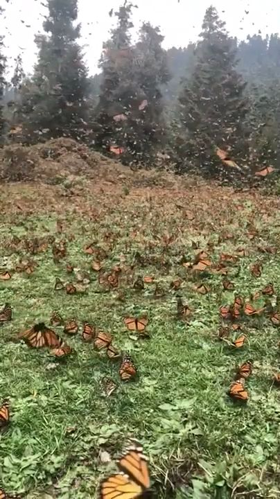 Help the Monarch Butterfly population by planting Milkweed