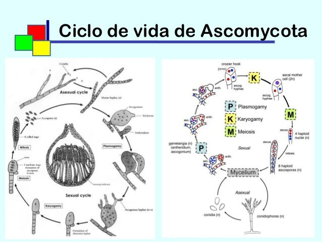Life cycle_ascomycota