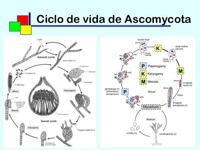 Life cycle_ascomycota