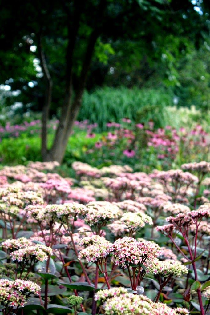 höst, parasoll, fjäril, -- Kärleksört - Sedum telephium 'Matrona' -- blom hela hösten, från augusti till oktober. Årets Perenn 2000.  robust sort som blir ca 50 cm hög. väldränerad och solen har fullt tillträde hela dagen. Ju torrare och soligare desto färgstarkare. Skapar kontrast - se länk för exempel. http://www.perennagruppen.com/gem/default.aspx?pageNr=120