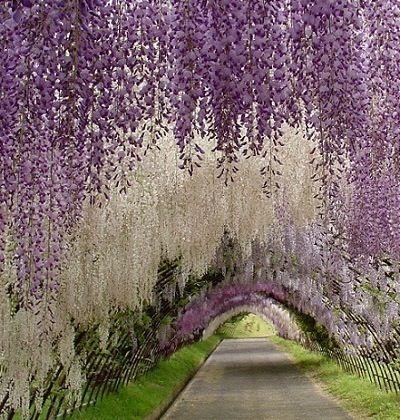 Beautiful wisterias