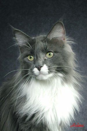 Zak, the handsome Maine Coon
