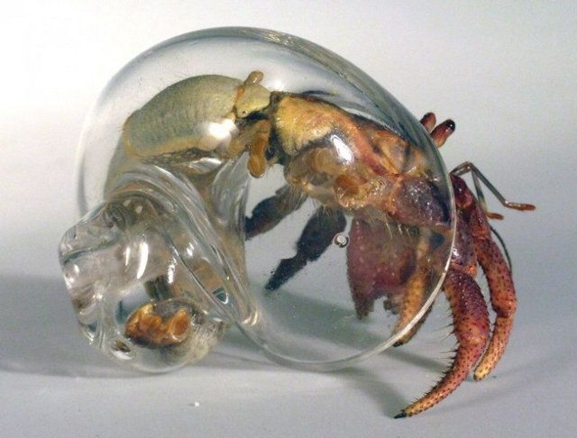 Hermit crab with a glass shell