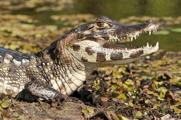 Principal destino para observação da vida selvagem na América do Sul, o #Pantanal é um ecossistema complexo influenciado pelas savanas bolivianas, cerrado, Amazônia e também pela Floresta Atlântica.