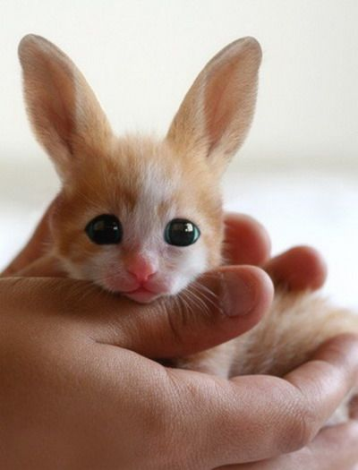 A baby fennec hare from North Korea's Pyongyang People's Zoo