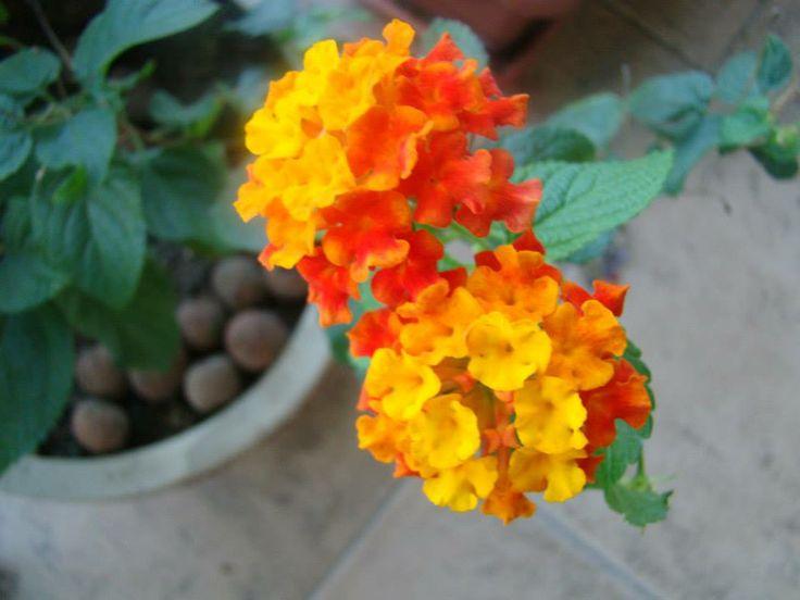 Lantana  Nome popular: Lantana; Chumbinho; Verbena-arbustiva; Cambará-miúdo; Cambará-de-cheiro; Cambarazinho; Cambará-verdadeiro; Camarazinho. Nome científico: Lantana camara L. Família: Verbenaceae. Origem: Antilhas até o Brasil.  A Lanatana é um arbusto perene, semi-herbáceo, muito florífero, de 0,5 a 2,0 m de altura, às vezes com espinhos. Inflorescências densas formadas no decorrer de quase todo o ano.