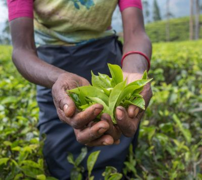 When To Harvest Tea Plants: Information On Tea Plant Harvesting Growing the tea plant, Camellia sinensis, allows you to produce your own tea at home. But how do you get from the plant to the cup? Learn more about harvesting tea plants in this article.