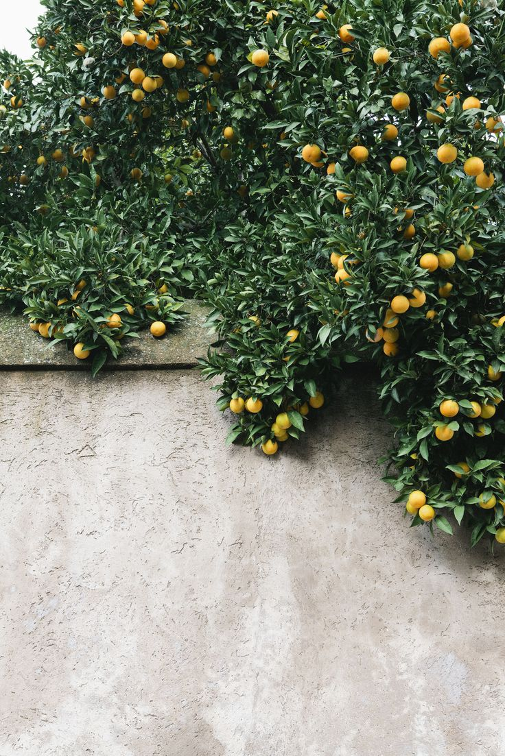 Nicole Franzen Stuccoed garden wall and citrus
