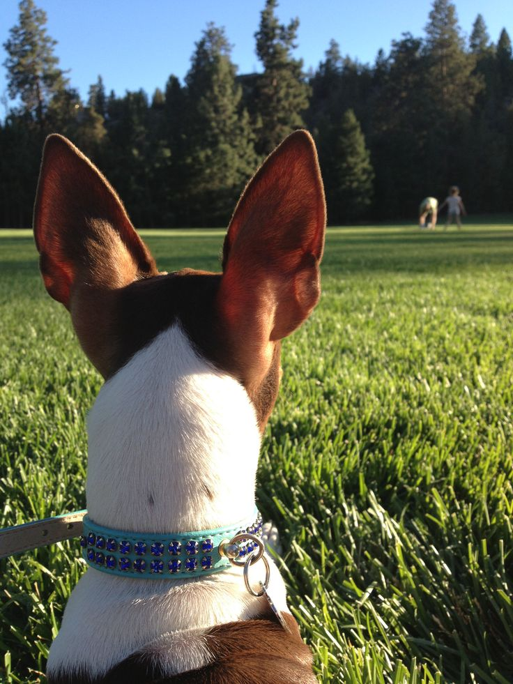 17 Best Images About Love Rat Terriers On Pinterest