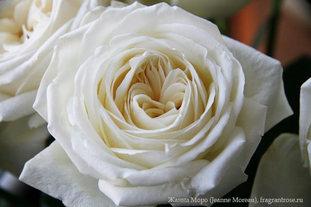 Жанна Моро (Jeanne Moreau) / Фея розы