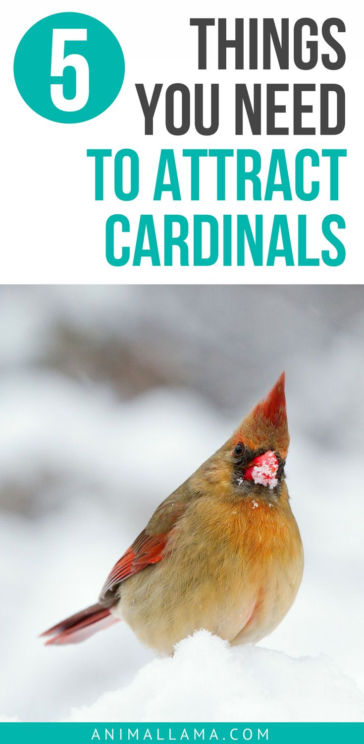 Do you want to know how to attract cardinals to your yard or garden? There are 5 crucial things that you need and cardinals will be waiting in line to visit your yard (not really but you know what I mean). #cardinals #bird #birdhouse #birding #birdwatching