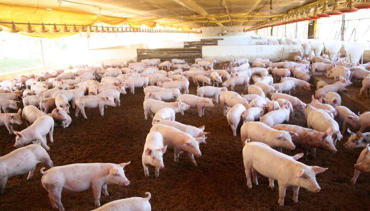 Acompanhe aqui a cobertura do setor suinícola e reprodução de reportagens com dicas de manejo, tecnologias e inovações no setor. Carne suína e