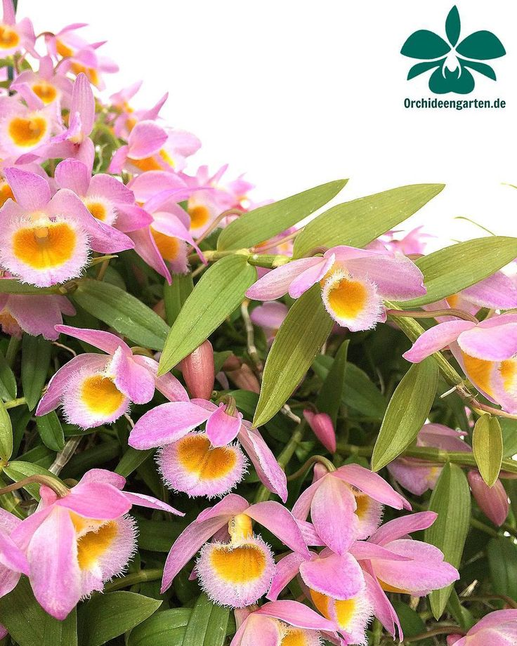 Dendrobium loddegesii #orchids #Orchidee #Orchideen #OrchIDEENgarten #orquídea #orquídeas #orchidées #orchidée #orchidej #orchideje #orkid #orkidéer #storczyki #storczyk #nature #naturelovers...
