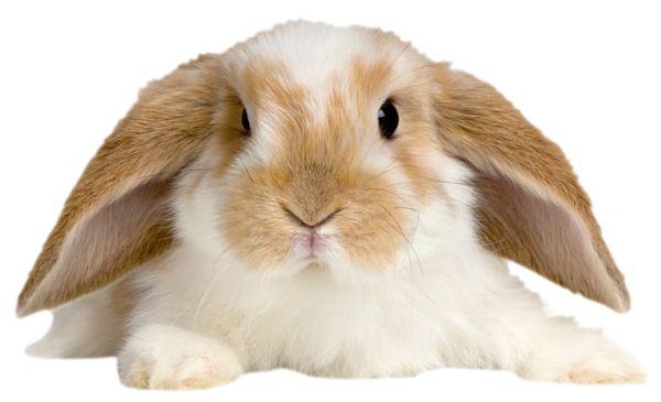Cute Rabbit Transparent PNG Picture