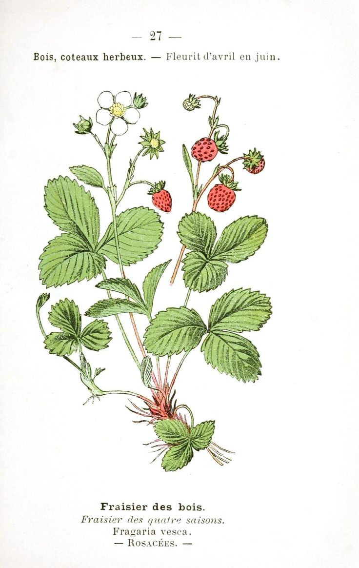 Strawberry Plant Stages