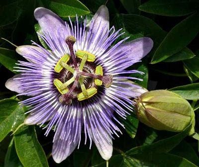 COLGANTE PASIONARIA - WOW! no sabia que era la flor del maracuya!!!! :)