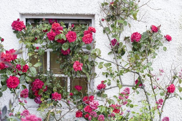 Scenic view of tall rose bush with pink flowers growing against stucco exterior…