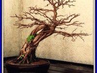 bonsai tree tattoo designs