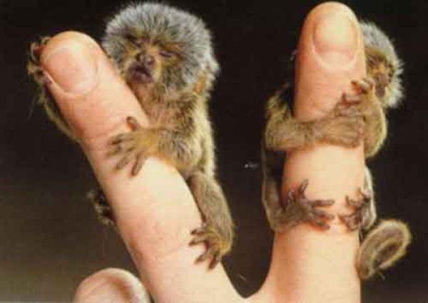 seriously?: Baby Monkey, Tinymonkey, Pet, Baby Animal, Marmoset Monkey, Little Animal, Tiny Monkey, Pygmy Marmoset, Fingers Monkey