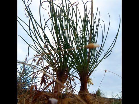 Drimia multifolia