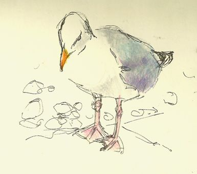 paintings prints and stuff: seagull, a quick sketch with coloured pencil and Rotring Art Pen in moleskine sketchbook