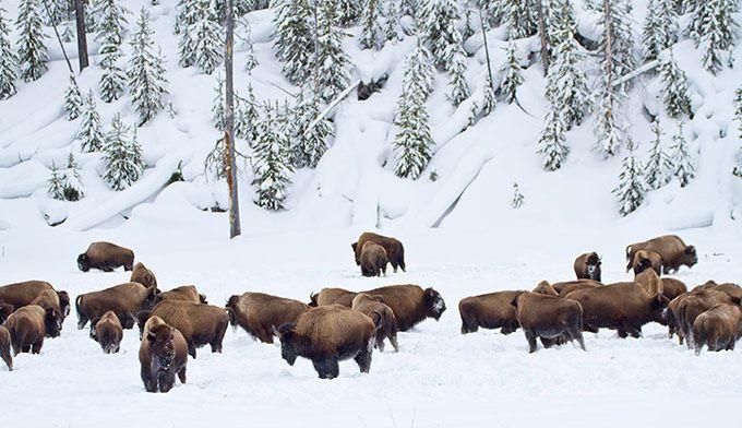 Yellowstone buffalo (bison) in the snow. Photo by Jeff Vanuga