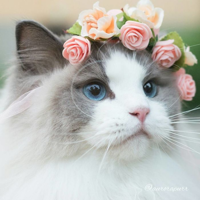 Meet Aurora, The Fluffy Cat Princess