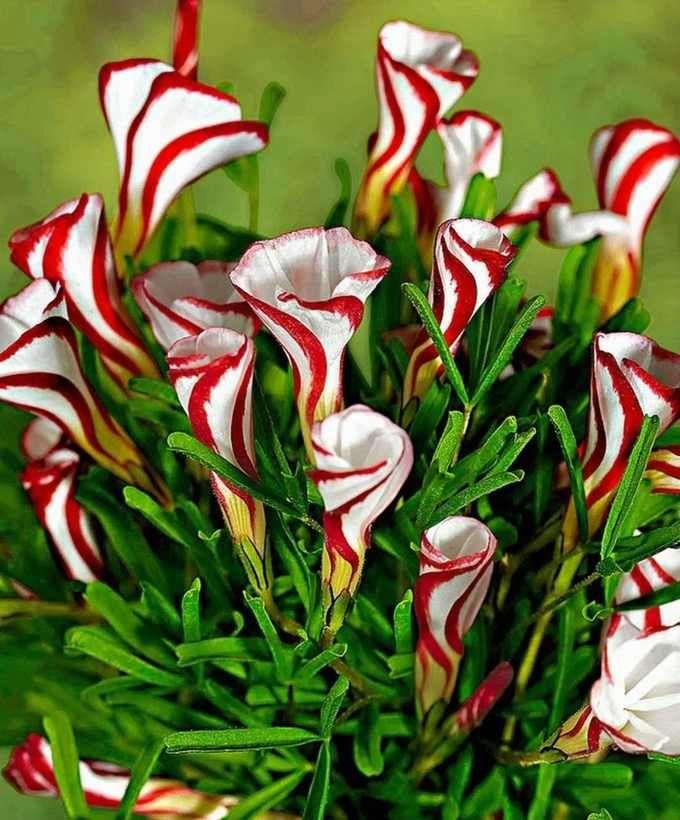 La Oxalis versicolor es una flor nativa de Sudáfrica, que produce pimpollos con pequeñas líneas rojas que recorren el borde de los pétalos.