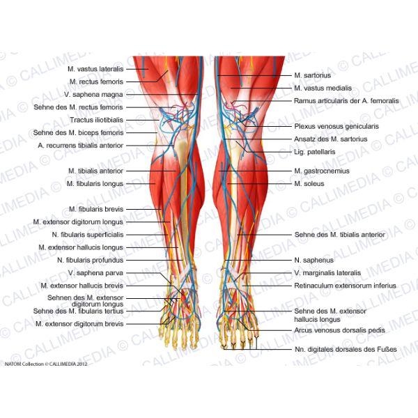 Knie, Bein, Fuß - Vorderansicht - Muskeln, Blutgefäße und oberflächliche Nerven