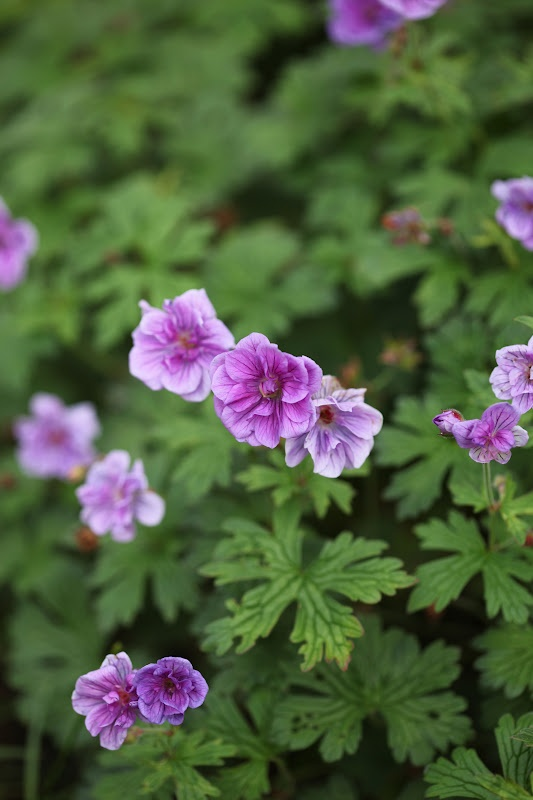 Geranium Himalayense 'Birch double'                                                                                                                                                                                 More
