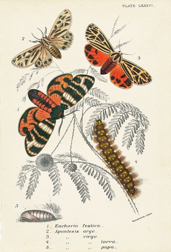 Tiger Moths, 19th Century Moths Picture, Picture of Moths, Vintage Moths, Caterpillars on Etsy, $31.03