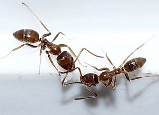 Researchers have detected that the random changes in the direction of Argentine ants (Linepithema humile) follow mathematical patterns, which are a mixture of Gaussian and Pareto distributions. Courtesy of Lek Khauv