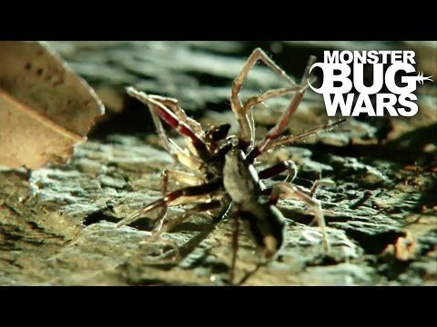New 'monster' daddy longlegs discovered in Oregon - YouTube