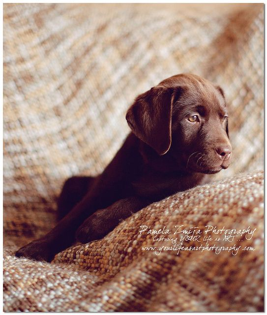 Chocolate Lab Puppy, Puppy Pictures, Puppy Photography, Pamela Zmija Photography