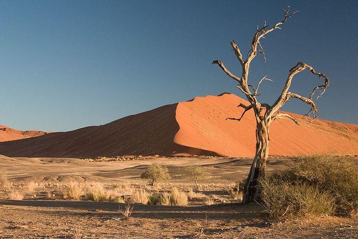 Acacia erioloba in the Namib Desert