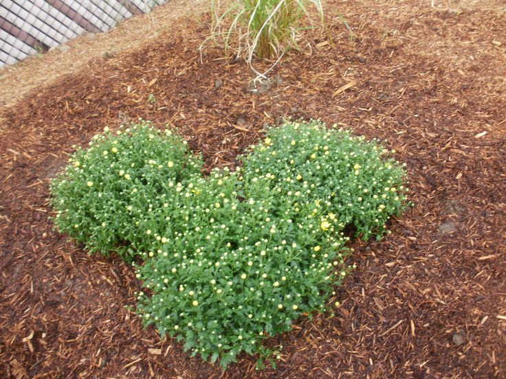 Create Some Disney Magic In Your Backyard With 2 Small Mums And 1 Large One  For A Hidden Mickey