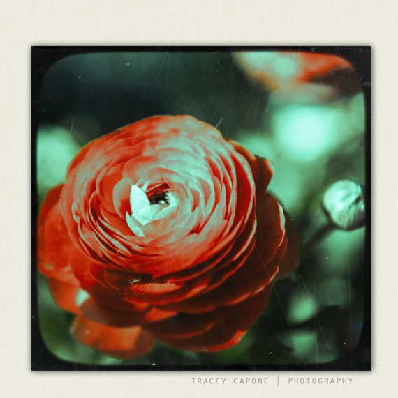 Nature   Wall Decor  Ranunculus No 2  Flower by TraceyCapone, $30.00: Wall Decor, Mint Green, Photograph Ranunculus, Red, Etsy, Nature Wall, Decor Ranunculus
