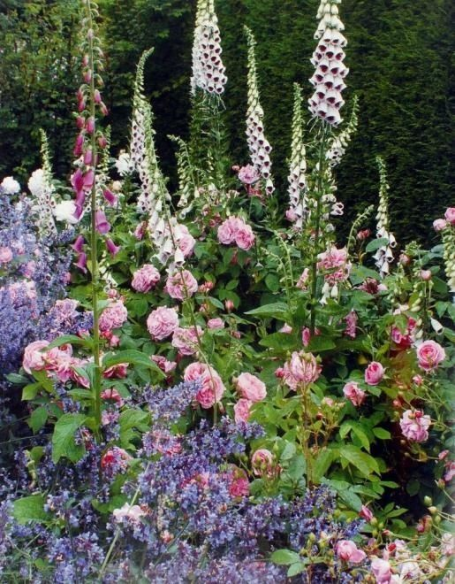 Roses, foxgloves and catmint