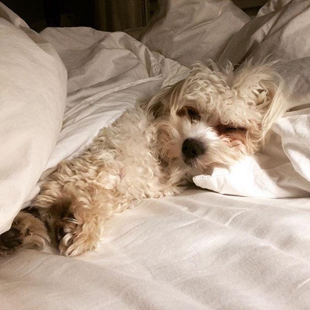 Hit the snooze please #puppiesofinstagram #havanese #havaneselove #havanesepuppy…