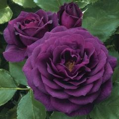 'Ebb Tide' - A David Austin Rose. Bred by Tom Carruth 2006 USA. Beautiful purple buds opening to a smokey plum purple. It has a delicious spicy clove fragrance.
