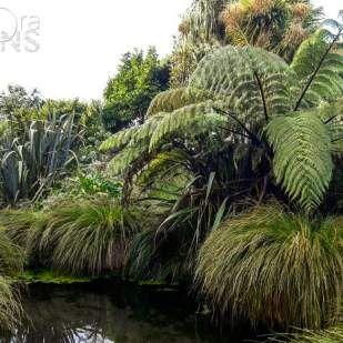 Pūrei - Carex secta