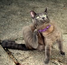Natural flea remedies for cat and house