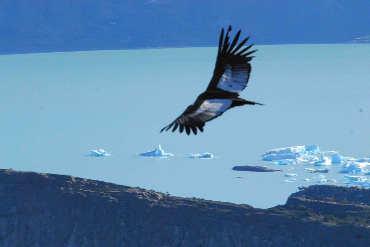 Andean Condor, El Calafate, Argentina.  Photo: Dr. Charles A. Munn. Luxury Amazon & South American Wildlife Tours.