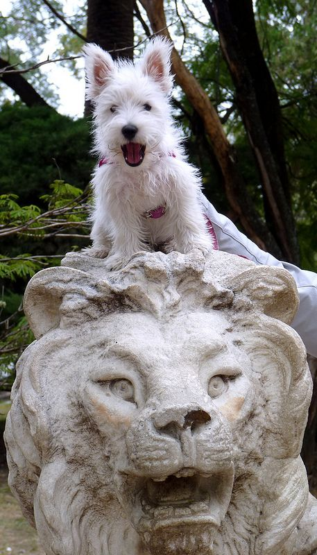 Image result for westie jump